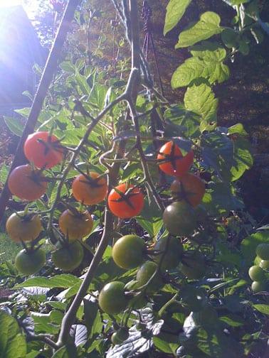 Illuminated Tomatoes