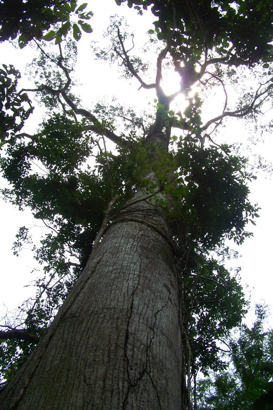 5000-year-old-tree-2