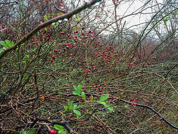 Water-berries-Christine-Marsh